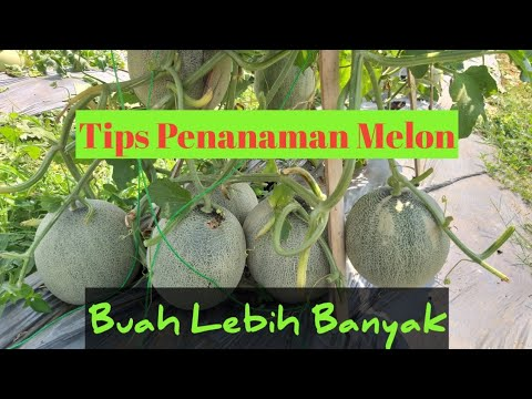 tips-sukses-menanam-semaian-benih-melon