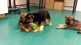 Available German Shepherd Puppies Akc/ofa/dm Neg