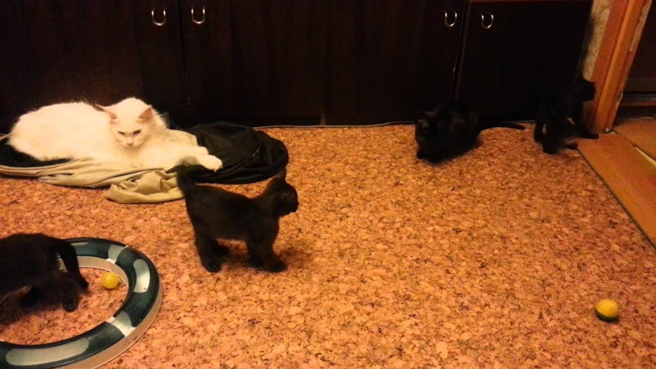Бу́рма, или бурманская короткошёрстная кошка — порода короткошёрстных кошек. До франции доехала только одна кошка, которая и родила котят. Считается, что все бурманские кошки происходят от этих двух подаренных.