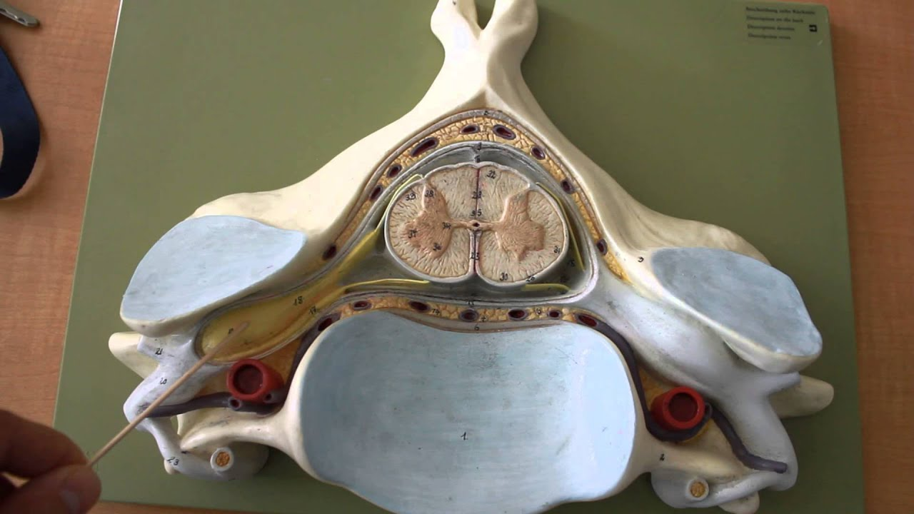 Cross Section Spinal Cord Diagram Labeled Dewalt Miter Saw Parts Nervous System Anatomy Youtube