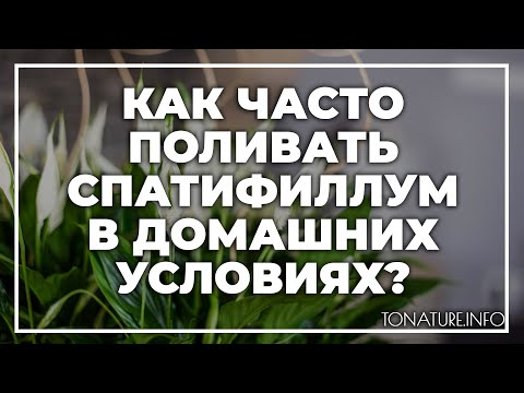 Как часто поливать спатифиллум в домашних условиях?   toNature.Info