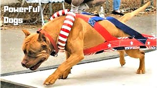 Dog Pulling Weight - Most Powerful Hard Working Dog Breeds