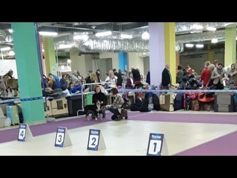 Чемпионат лабрадоров 2019!!! 27.01.2019