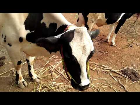 COW DEALERS UPIDAMANGALAM  NAGARATHINAM 9597264039