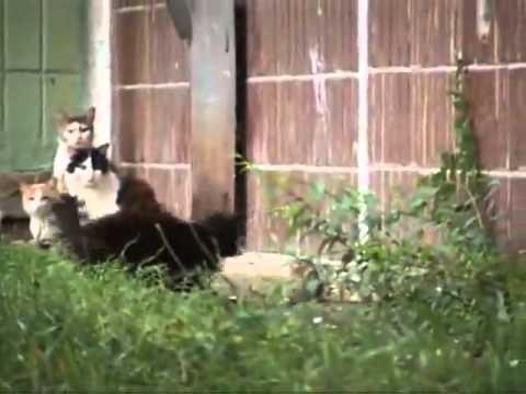 Видео как крыса гоняет котов