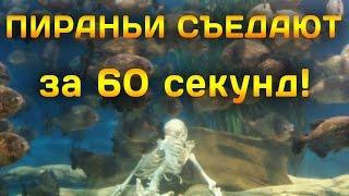 Пираньи съедают рыбу за 60 секунд!
