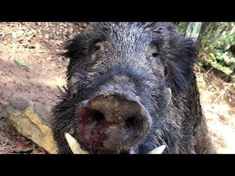 wild boar  hunting (GIGANTI NEL BOSCO)