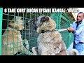 6 TANE KURT BOĞAN EFSANE KANGAL YAVUZ !! VE SAHİBİ ( BARIŞ ÇİÇEK ) #kangal #kurt #türkaslanı