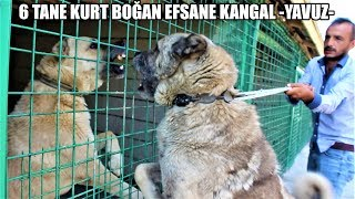 Gambar cover 6 TANE KURT BOĞAN EFSANE KANGAL YAVUZ !! VE SAHİBİ ( BARIŞ ÇİÇEK ) #kangal #kurt #türkaslanı