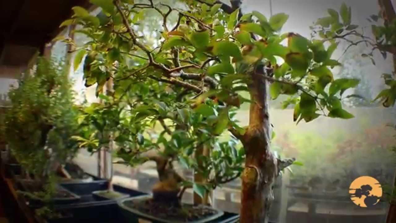 How to bonsai trees for beginners - 04 Bonsai Trees For Beginners How To Buy Bonsai Trees Guide To Choosing Bonsai Youtube