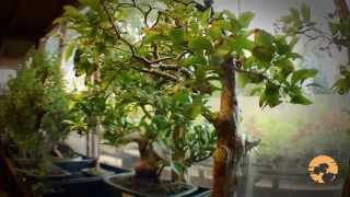 04) Bonsai Trees for Beginners how to buy bonsai trees guide मार्क बोन्साई