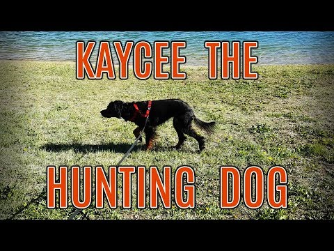Kaycee The Hunting Dog - 1