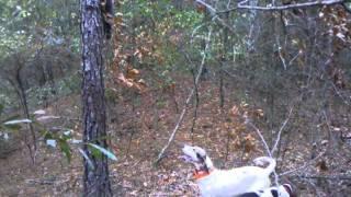 Training Treeing Walker Coon Hound Part 5