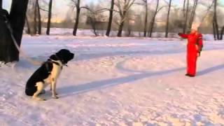 Нападение собаки на хозяйку во время послушки