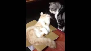 箱フェチな景虎くん。 どんな小さな箱でもチャレンジはおこたらない!