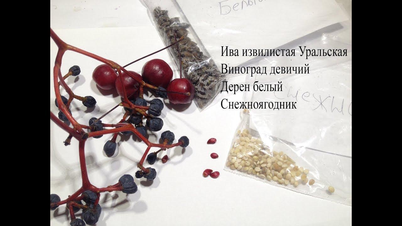 Ива извилистая Уральская.Собрал на семена Дерен белый,виноград Девичий,снежноягодник