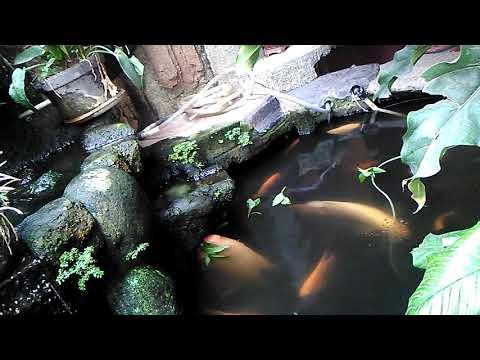 Ikan Gurame besar di kolam kecil