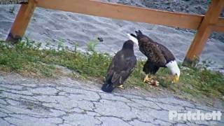 swfl-eagles-m15-brings-fish-for-e9-harriet-feeds-e9-on-the-ground-3-14-17