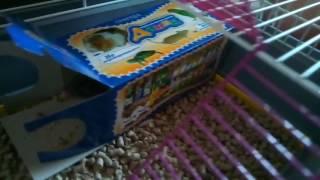 домашние крысы наши друзья дамбо