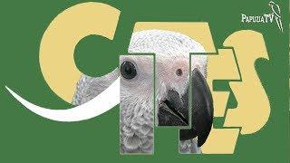 CITESOWE papugi - żako bardziej chronione