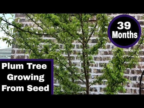 Growing a Plum Tree From Seed – 39 Months Old