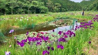 2019/05/29 トンボ自然公園の睡蓮と花菖蒲 ~高知県四万十市~
