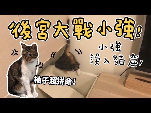 黃阿瑪的後宮生活-後宮大戰小強-小強誤入貓窟