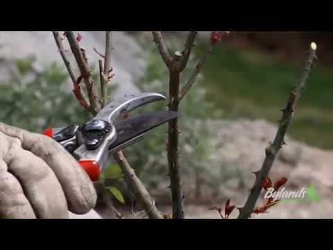 Spring Rose Pruning