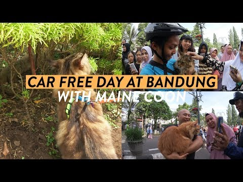 car-free-day-at-bandung-with-maine-coon-|-a2ev-#1