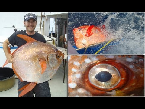 Opah is first warm blooded fish ever discovered with for Warm blooded fish