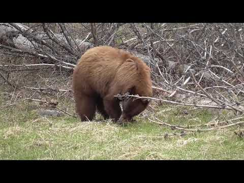 Cinnamon black bear Yellowstone May 2019