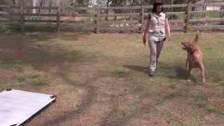 Dog Training, Masen, Golden Retriever, Day 4: Off-leash Recall, Car Manners
