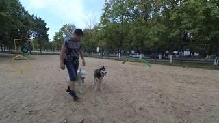 Дрессировка Ездовых собак (средних крупных пород)