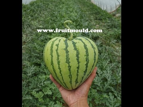 growing perfect heart watermelon with heart shape watermelon mold