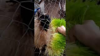 Arpa çimi yem çimi besicilik için tavuk kaz koyun keçi inek barley fodder
