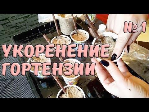 Укоренение черенков метельчатой гортензии. Часть 1