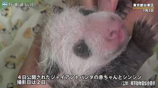 4日公開の ジャイアントパンダの赤ちゃんとシンシン