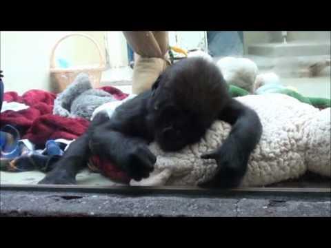 Zoo Stuttgart - Wilhelma: Gorillakindergarten Vana & Tebogo (3 Monate alt)