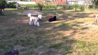 甲斐犬&バーニーズ&プードルで遊ぶ。(奥はロットワイラー) 体格差も何の...