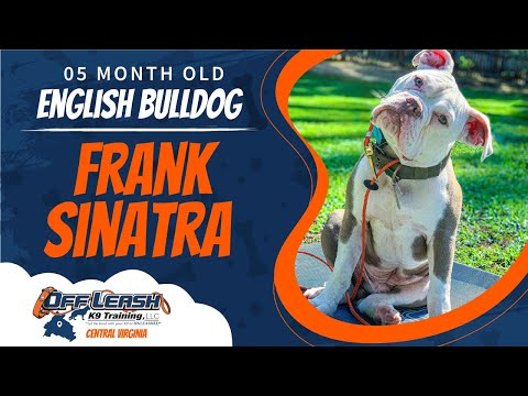 "5mo Old English Bulldog ""Frank Sinatra"" Best Dog Trainers In Fredericksburg"