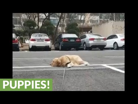 Dog totally quits during walk, lays down to nap
