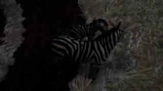 Zebry w Afryce 2!