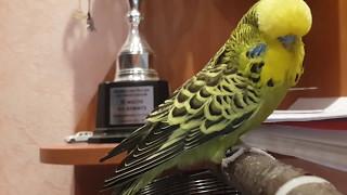 Выставочный волнистый попугай (Чех)