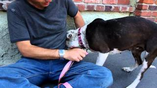 Adopted! - Zima Pointer/ Dalmation/ Pit Bull Terrier Mix For Adoption In Los Angeles