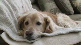 Young Golden Retriever Tries To Get Old Dog To Play Short Film