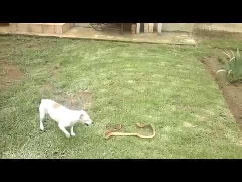 Jack Russell vs Cape Cobra