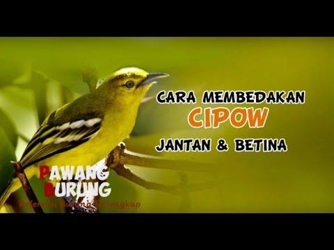 CIRI BURUNG CIPOW JANTAN & BETINA