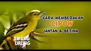 Gambar cover CIRI BURUNG CIPOW JANTAN & BETINA
