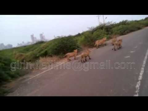 A Lioness with 4 cubs to walk out on the pipavav shipyard road Unique video near Gir forest Gujarat