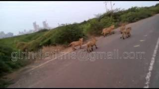Download Video A Lioness with 4 cubs to walk out on the pipavav shipyard road Unique video near Gir forest Gujarat MP3 3GP MP4